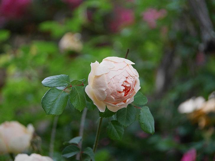 ジュード・ジ・オブスキュア(半ツルバラ)の花がたくさん咲いた。2020年-013.jpg