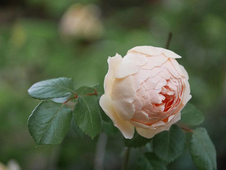 ジュード・ジ・オブスキュア(半ツルバラ)の花がたくさん咲いた。2020年-014.jpg