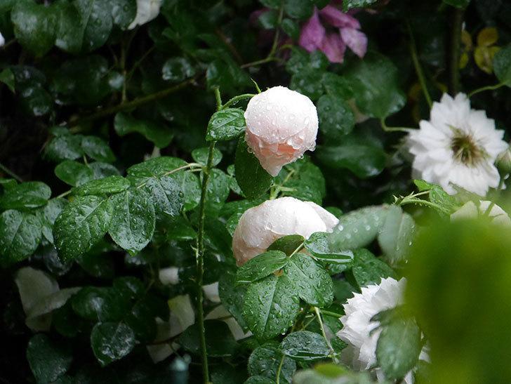 ジュード・ジ・オブスキュア(半ツルバラ)の花がたくさん咲いた。2020年-015.jpg