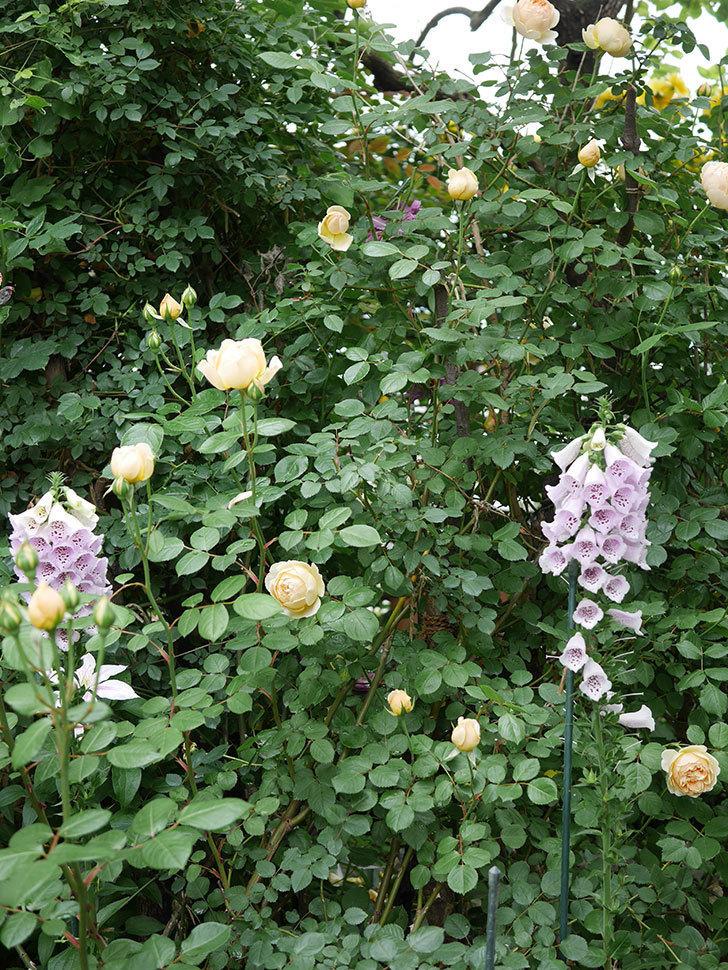 ジュード・ジ・オブスキュア(半ツルバラ)の花がたくさん咲いた。2020年-017.jpg
