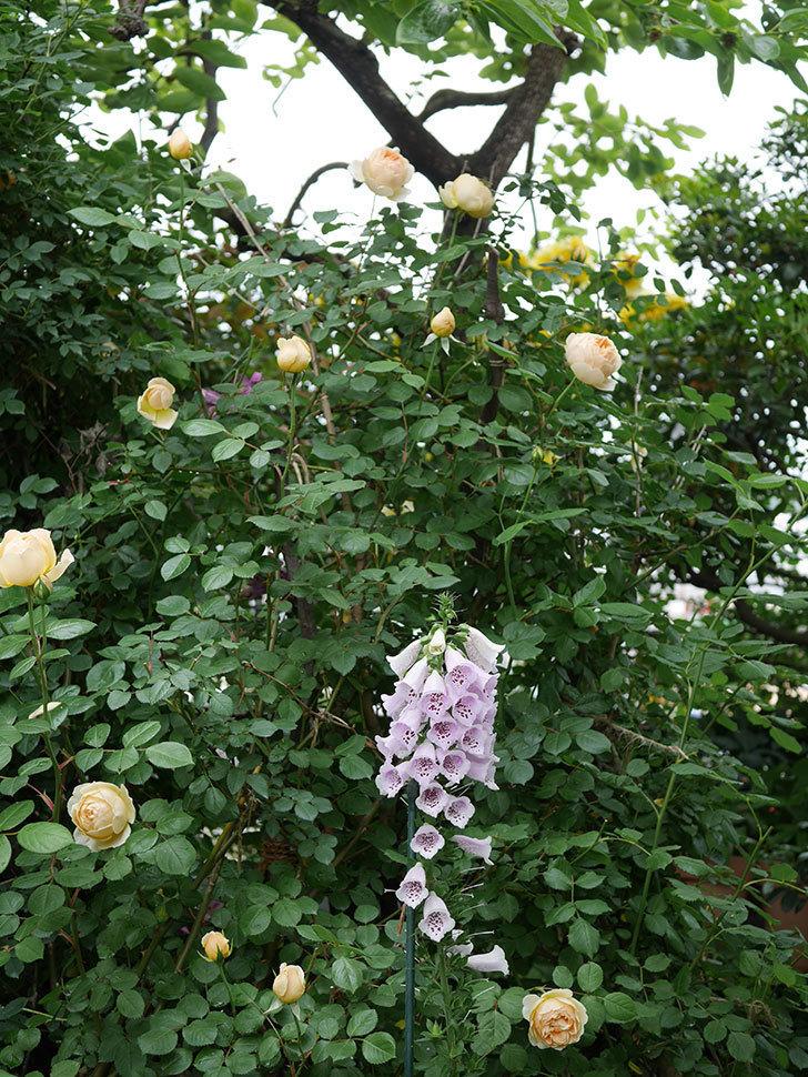 ジュード・ジ・オブスキュア(半ツルバラ)の花がたくさん咲いた。2020年-018.jpg