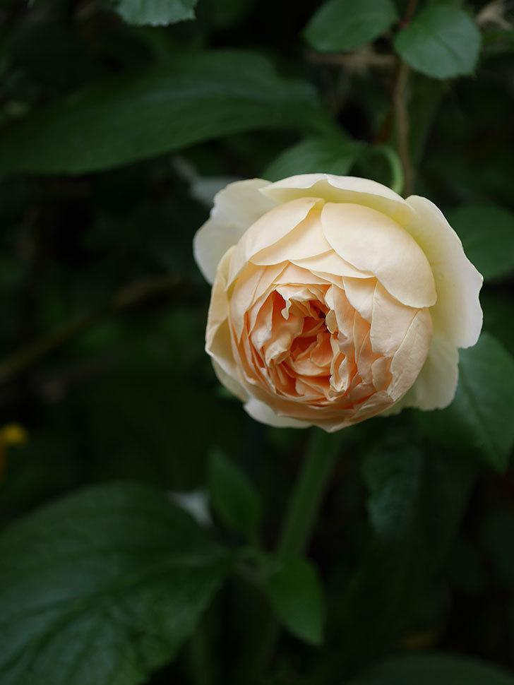 ジュード・ジ・オブスキュア(半ツルバラ)の花がたくさん咲いた。2020年-019.jpg