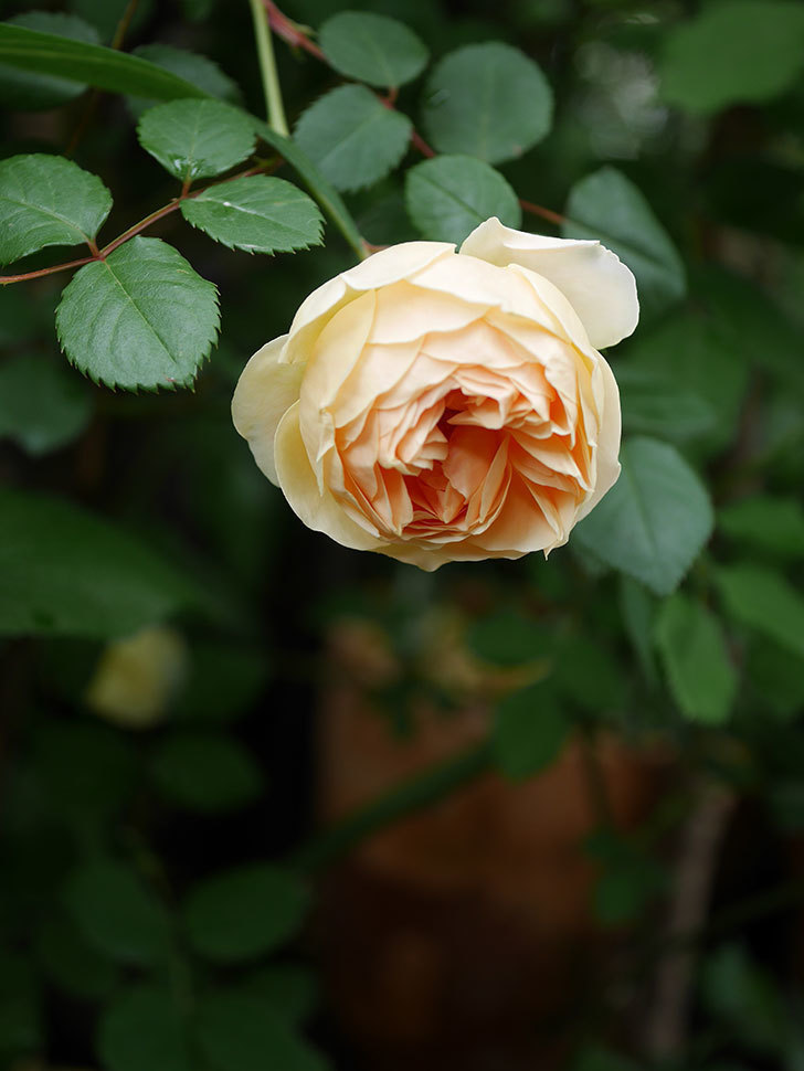 ジュード・ジ・オブスキュア(半ツルバラ)の花がたくさん咲いた。2020年-020.jpg
