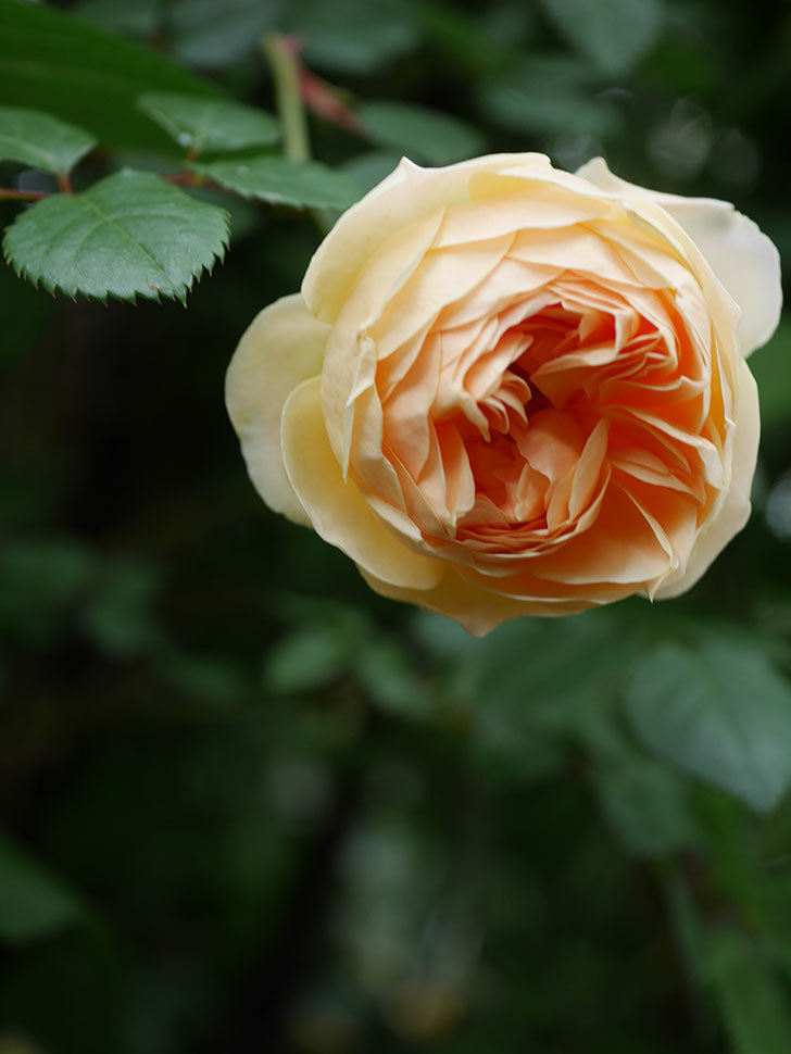 ジュード・ジ・オブスキュア(半ツルバラ)の花がたくさん咲いた。2020年-021.jpg