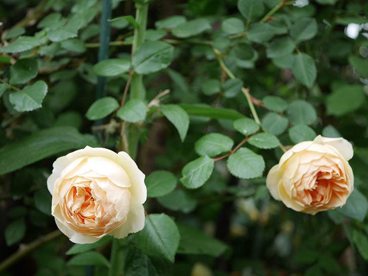 ジュード・ジ・オブスキュア(半ツルバラ)の花がたくさん咲いた。2020年-022.jpg