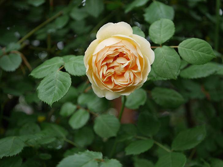 ジュード・ジ・オブスキュア(半ツルバラ)の花がたくさん咲いた。2020年-023.jpg
