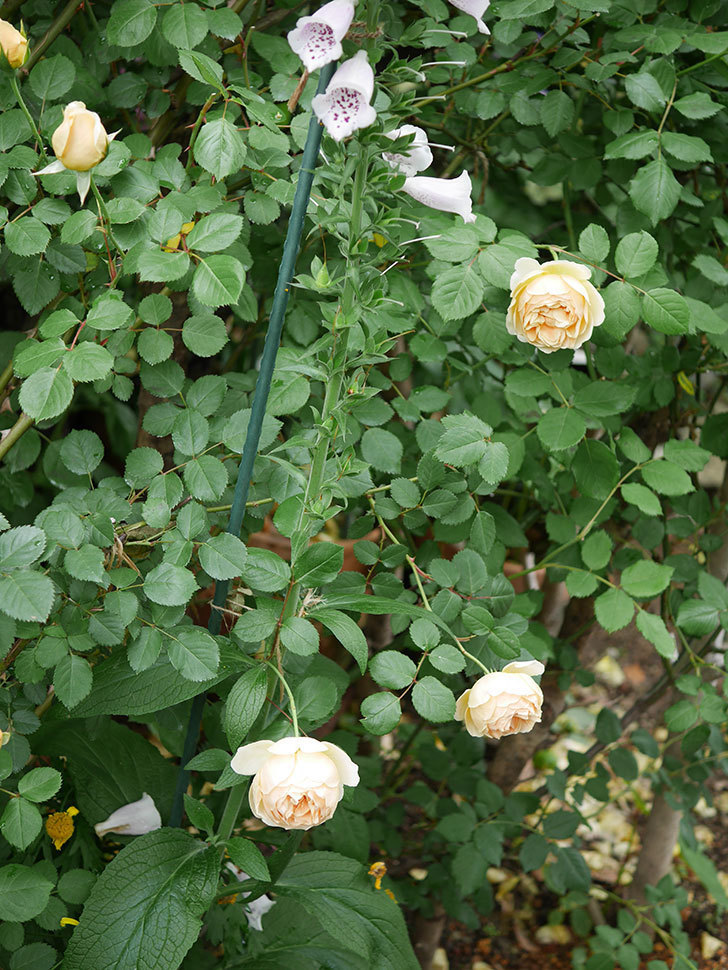 ジュード・ジ・オブスキュア(半ツルバラ)の花がたくさん咲いた。2020年-024.jpg
