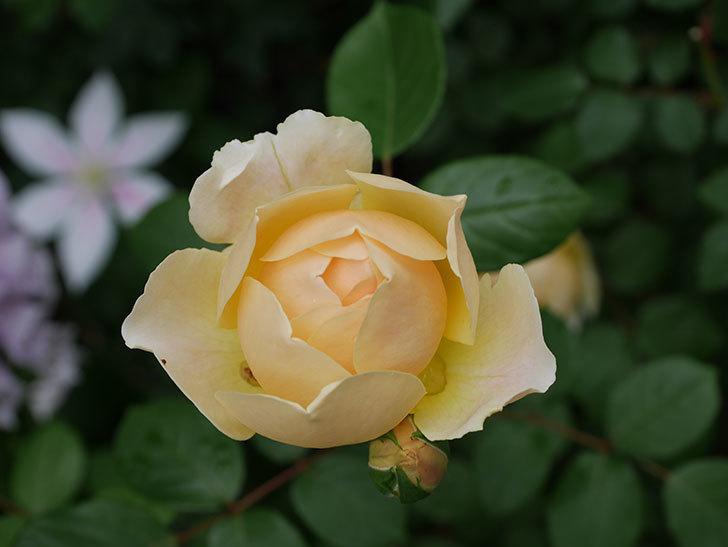 ジュード・ジ・オブスキュア(半ツルバラ)の花がたくさん咲いた。2020年-026.jpg