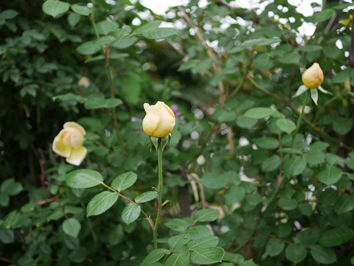 ジュード・ジ・オブスキュア(半ツルバラ)の花がたくさん咲いた。2020年-028.jpg