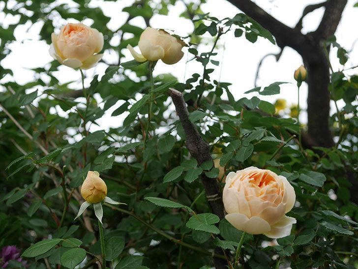 ジュード・ジ・オブスキュア(半ツルバラ)の花がたくさん咲いた。2020年-029.jpg