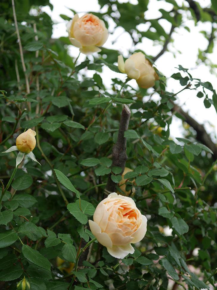ジュード・ジ・オブスキュア(半ツルバラ)の花がたくさん咲いた。2020年-030.jpg