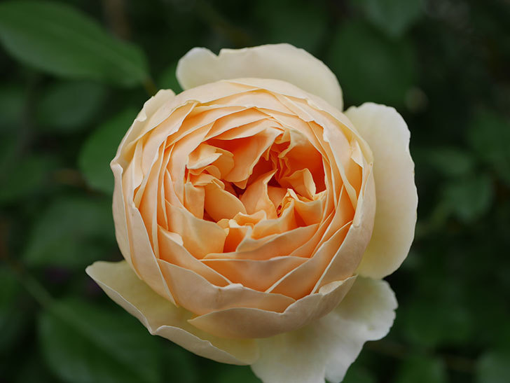 ジュード・ジ・オブスキュア(半ツルバラ)の花がたくさん咲いた。2020年-031.jpg