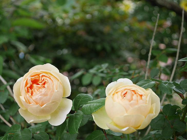 ジュード・ジ・オブスキュア(半ツルバラ)の花がたくさん咲いた。2020年-032.jpg