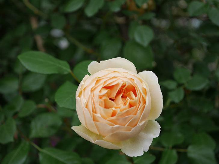 ジュード・ジ・オブスキュア(半ツルバラ)の花がたくさん咲いた。2020年-033.jpg