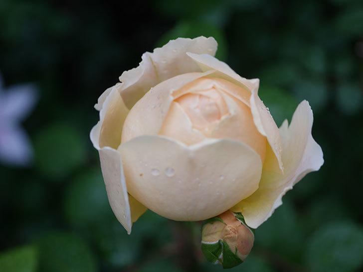 ジュード・ジ・オブスキュア(半ツルバラ)の花がたくさん咲いた。2020年-035.jpg