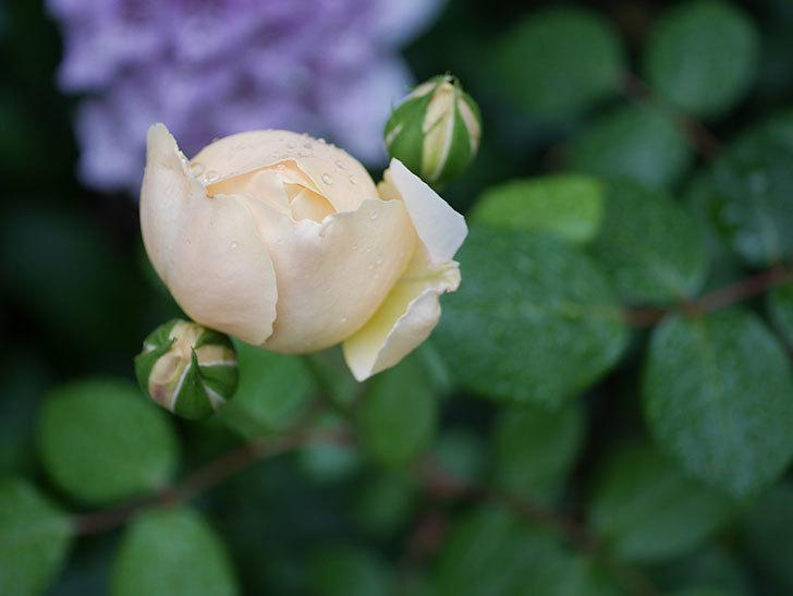 ジュード・ジ・オブスキュア(半ツルバラ)の花がたくさん咲いた。2020年-036.jpg