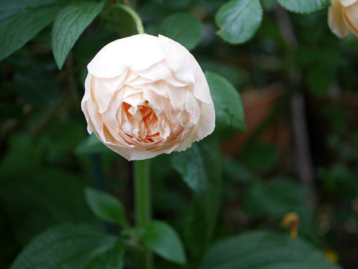 ジュード・ジ・オブスキュア(半ツルバラ)の花がたくさん咲いた。2020年-037.jpg