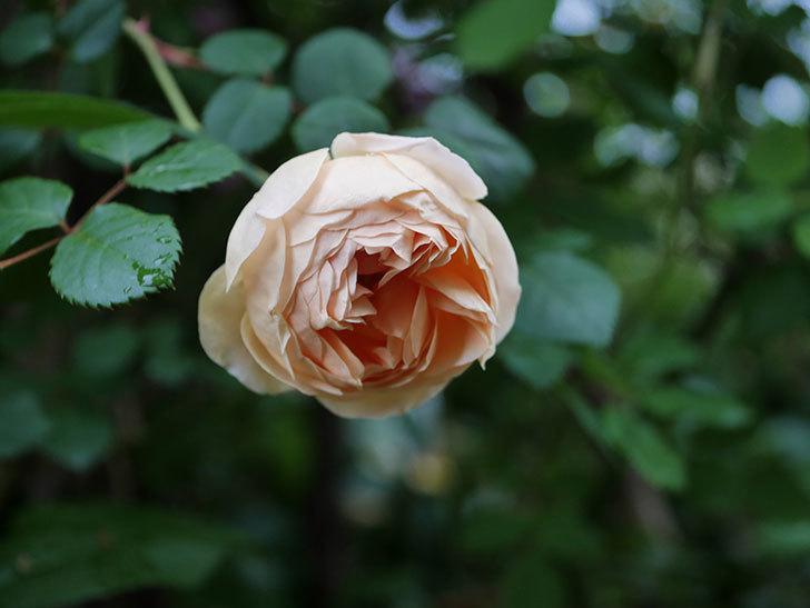 ジュード・ジ・オブスキュア(半ツルバラ)の花がたくさん咲いた。2020年-038.jpg