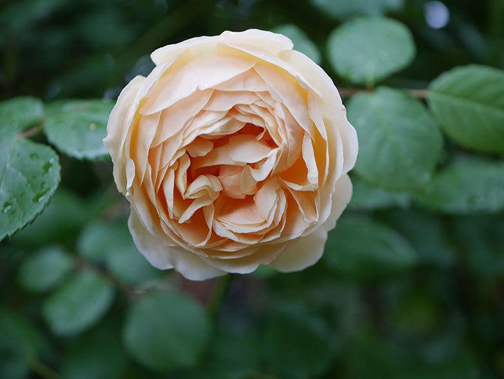ジュード・ジ・オブスキュア(半ツルバラ)の花がたくさん咲いた。2020年-039.jpg