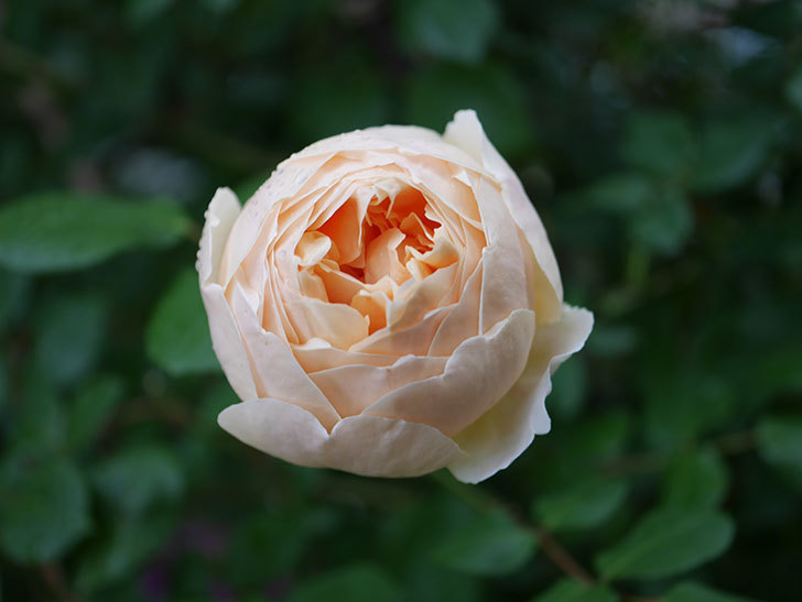 ジュード・ジ・オブスキュア(半ツルバラ)の花がたくさん咲いた。2020年-040.jpg