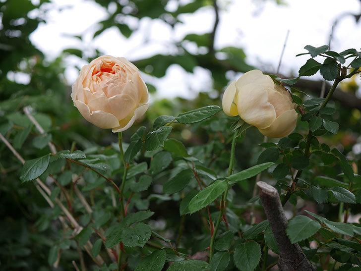 ジュード・ジ・オブスキュア(半ツルバラ)の花がたくさん咲いた。2020年-041.jpg