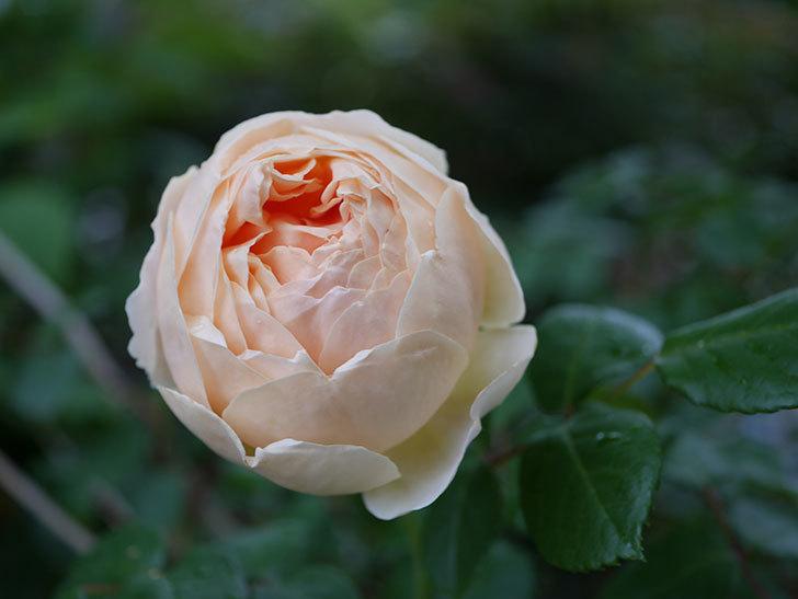 ジュード・ジ・オブスキュア(半ツルバラ)の花がたくさん咲いた。2020年-043.jpg
