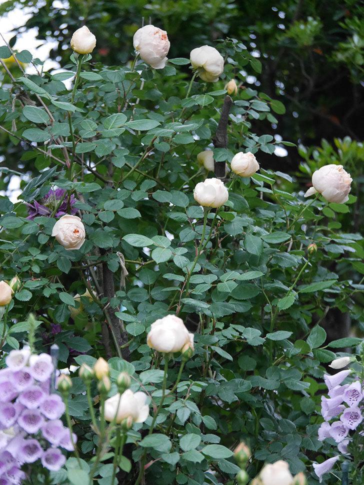 ジュード・ジ・オブスキュア(半ツルバラ)の花がたくさん咲いた。2020年-045.jpg