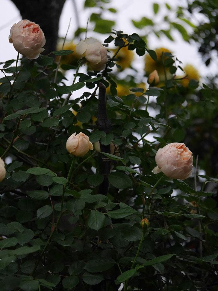 ジュード・ジ・オブスキュア(半ツルバラ)の花がたくさん咲いた。2020年-046.jpg