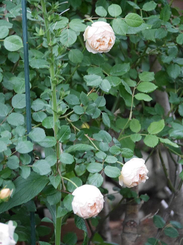 ジュード・ジ・オブスキュア(半ツルバラ)の花がたくさん咲いた。2020年-047.jpg