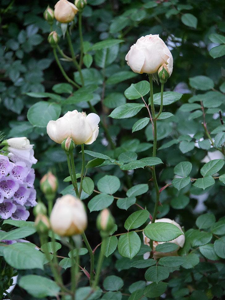 ジュード・ジ・オブスキュア(半ツルバラ)の花がたくさん咲いた。2020年-048.jpg