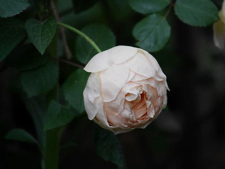 ジュード・ジ・オブスキュア(半ツルバラ)の花がたくさん咲いた。2020年-049.jpg