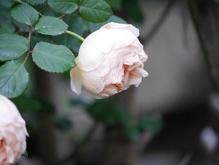 ジュード・ジ・オブスキュア(半ツルバラ)の花がたくさん咲いた。2020年-050.jpg