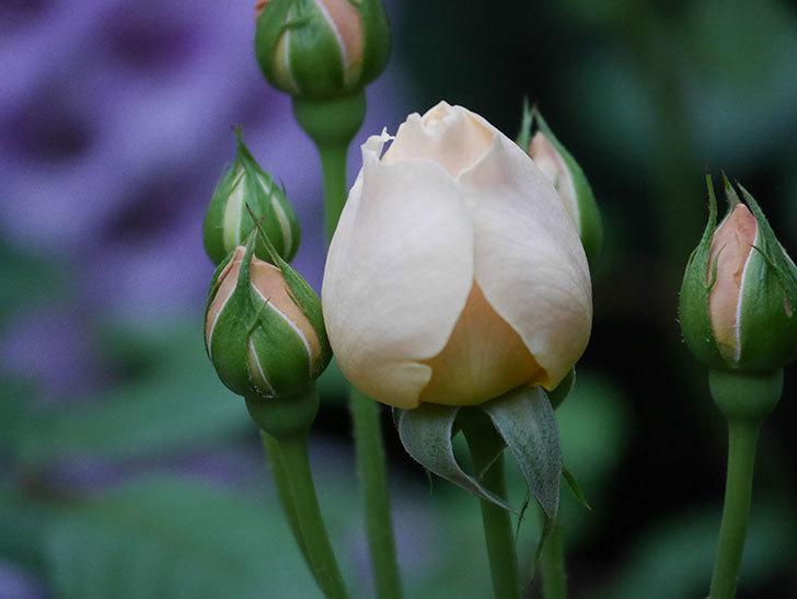 ジュード・ジ・オブスキュア(半ツルバラ)の花がたくさん咲いた。2020年-051.jpg