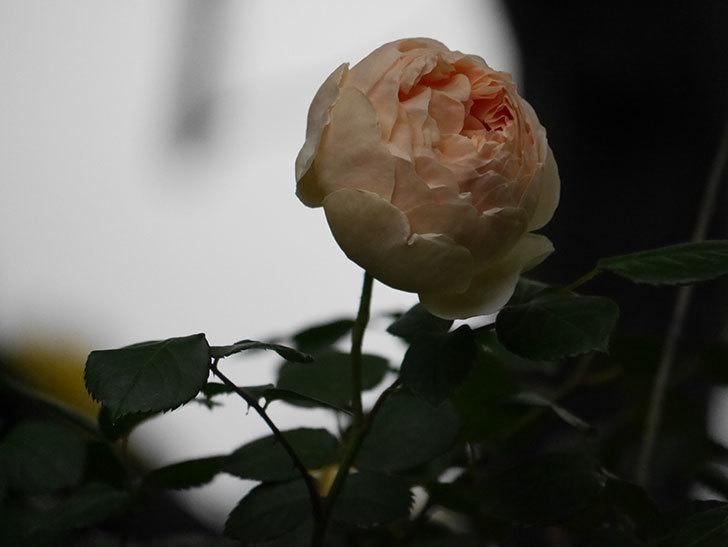 ジュード・ジ・オブスキュア(半ツルバラ)の花がたくさん咲いた。2020年-053.jpg