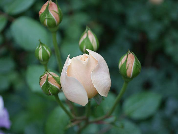 ジュード・ジ・オブスキュア(半ツルバラ)の花がたくさん咲いた。2020年-054.jpg