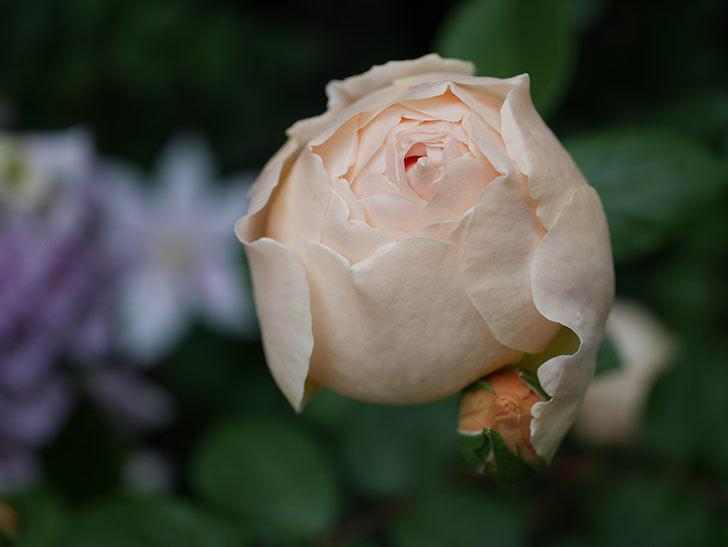 ジュード・ジ・オブスキュア(半ツルバラ)の花がたくさん咲いた。2020年-055.jpg