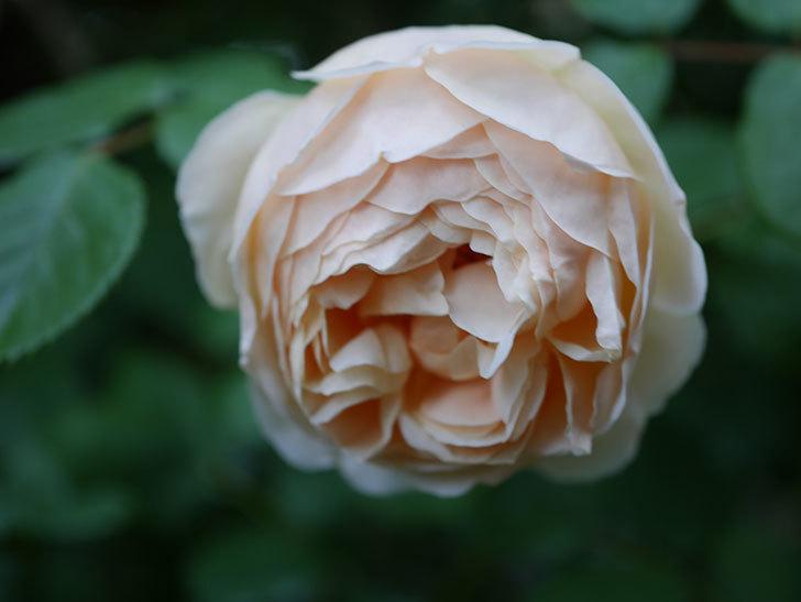 ジュード・ジ・オブスキュア(半ツルバラ)の花がたくさん咲いた。2020年-056.jpg