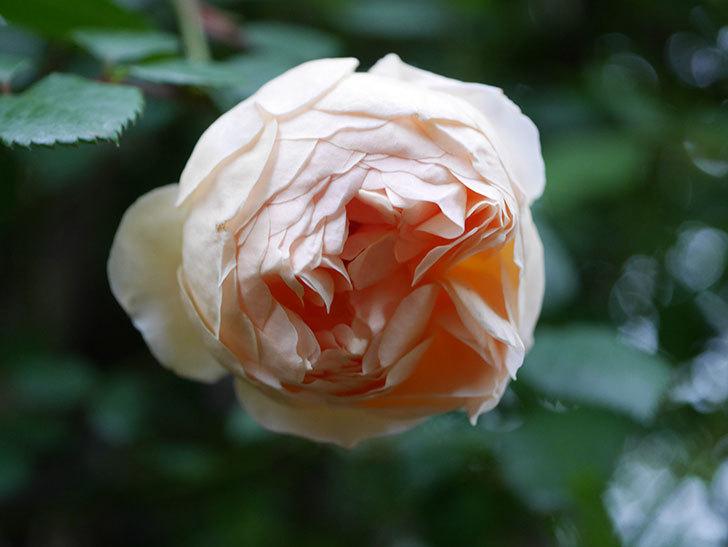 ジュード・ジ・オブスキュア(半ツルバラ)の花がたくさん咲いた。2020年-057.jpg