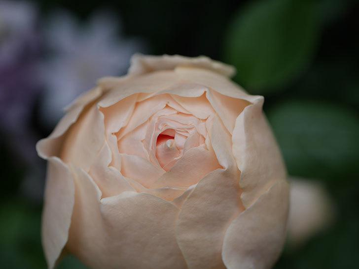 ジュード・ジ・オブスキュア(半ツルバラ)の花がたくさん咲いた。2020年-058.jpg
