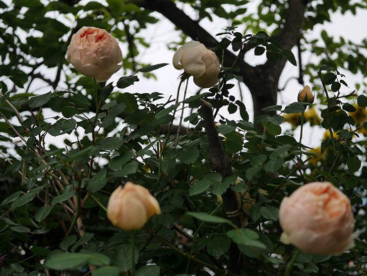 ジュード・ジ・オブスキュア(半ツルバラ)の花がたくさん咲いた。2020年-059.jpg