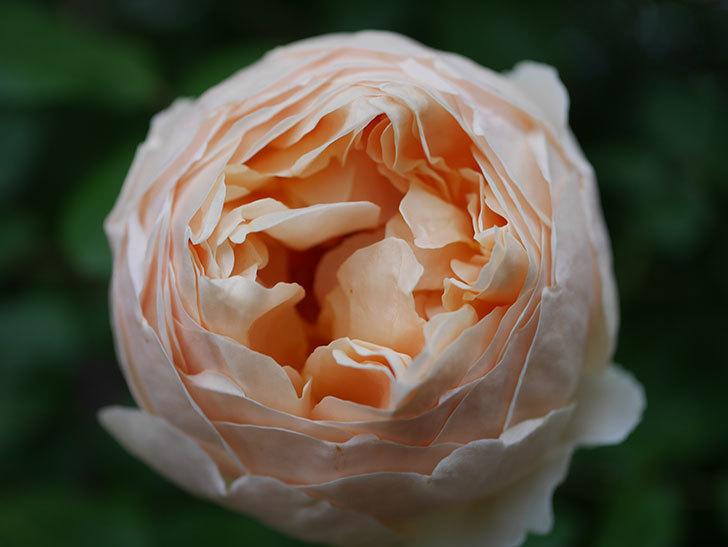 ジュード・ジ・オブスキュア(半ツルバラ)の花がたくさん咲いた。2020年-060.jpg