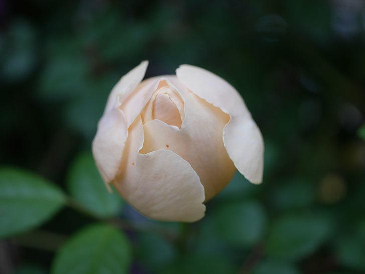 ジュード・ジ・オブスキュア(半ツルバラ)の花がたくさん咲いた。2020年-061.jpg