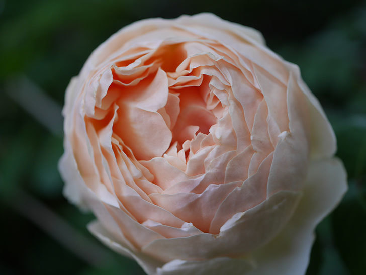 ジュード・ジ・オブスキュア(半ツルバラ)の花がたくさん咲いた。2020年-062.jpg