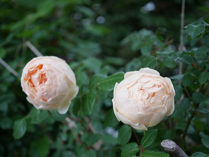 ジュード・ジ・オブスキュア(半ツルバラ)の花がたくさん咲いた。2020年-063.jpg