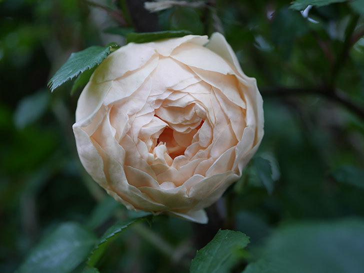 ジュード・ジ・オブスキュア(半ツルバラ)の花がたくさん咲いた。2020年-064.jpg