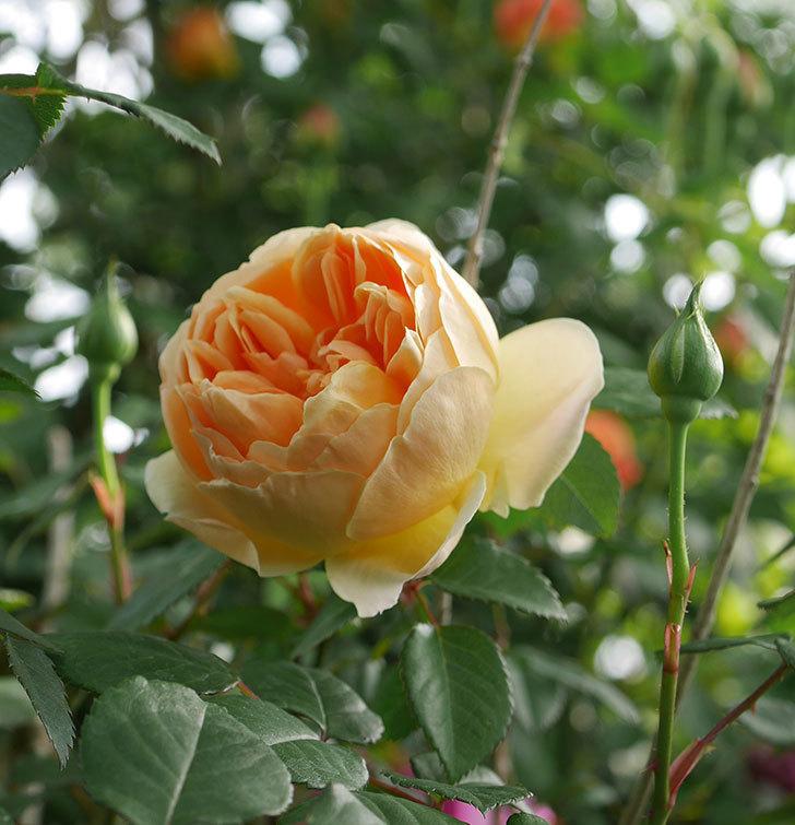 ジュード・ジ・オブスキュア(半ツルバラ)の花が咲いた。2020年-1.jpg