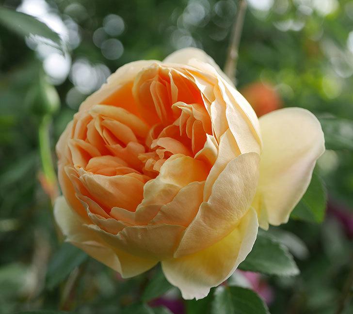 ジュード・ジ・オブスキュア(半ツルバラ)の花が咲いた。2020年-2.jpg