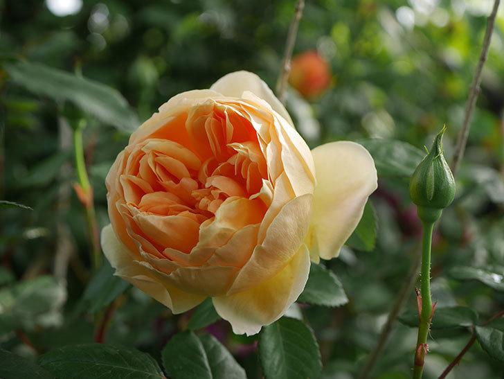 ジュード・ジ・オブスキュア(半ツルバラ)の花が咲いた。2020年-3.jpg