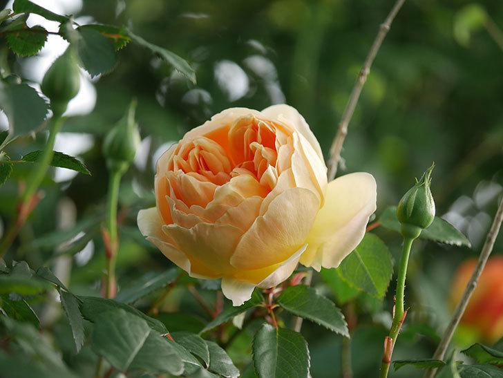 ジュード・ジ・オブスキュア(半ツルバラ)の花が咲いた。2020年-5.jpg