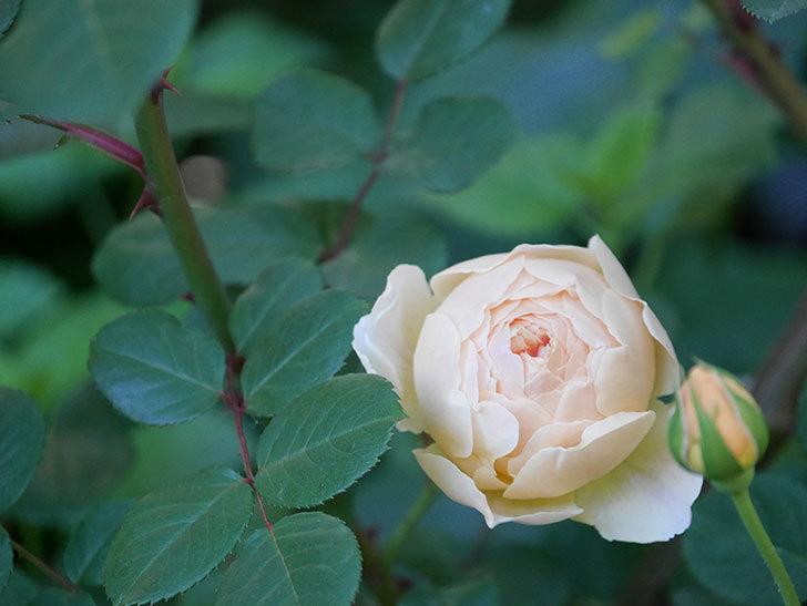 ジュード・ジ・オブスキュア(半ツルバラ)の花が増えてきた。2020年-001.jpg